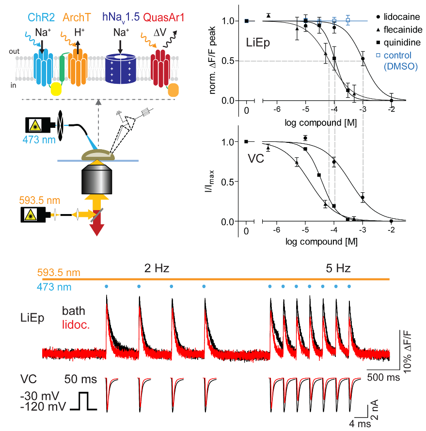 Dynamic all-optical drug screening on cardiac voltage-gated ion channels