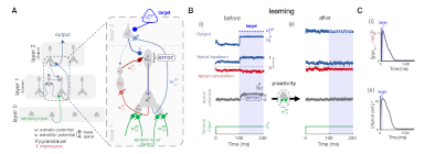 Dendritic cortical microcircuits approximate the backpropagation algorithm